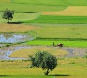L'agricoltore ara il giacimento del riso nel delta del Mekong Immagine Stock Libera da Diritti