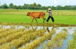 L'agricoltore asiatico tende la mucca sulla piantagione del riso Immagine Stock Libera da Diritti