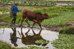 L'agricoltore cammina il suo bue in risaie ed ottiene una riflessione piacevole. Fotografia Stock Libera da Diritti