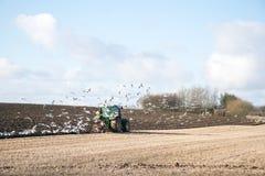 L'agricoltore che ara il campo di stoppie con il trattore verde ha seguito da una moltitudine di gabbiani, Danimarca Fotografia Stock