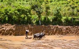L'agricoltore che ara una risaia con il bufalo Immagini Stock