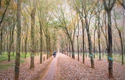 L'agricoltore che guida a casa dopo il lavoro in piantagioni di gomma condisce invece le foglie in autunno Immagini Stock Libere da Diritti