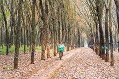 L'agricoltore che guida a casa dopo il lavoro in piantagioni di gomma condisce invece le foglie in autunno Immagine Stock