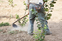 L'agricoltore che nocciole di zappatura Immagini Stock Libere da Diritti