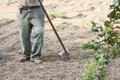 L'agricoltore che nocciole di zappatura Fotografia Stock