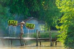 L'agricoltore che porta il riso raccolto germoglia per ripiantare nell'azienda agricola del riso Fotografie Stock Libere da Diritti