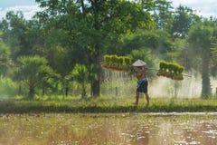 L'agricoltore che porta il riso raccolto germoglia per ripiantare nell'azienda agricola del riso Immagini Stock Libere da Diritti