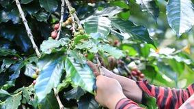 L'agricoltore che raccoglie i chicchi di caffè organici maturi delle ciliege è l'uno o l'altro raccolto a mano archivi video