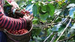 L'agricoltore che raccoglie i chicchi di caffè organici maturi delle ciliege è l'uno o l'altro raccolto a mano stock footage