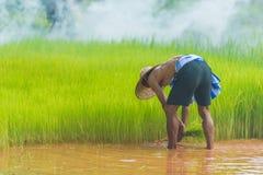 L'agricoltore che raccoglie il riso germoglia per ripiantare nell'azienda agricola del riso Immagini Stock Libere da Diritti