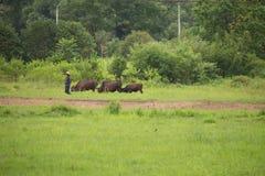 L'agricoltore che sveglia con i suoi bufali si avvicina alle risaie del gelsomino Immagine Stock