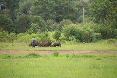 L'agricoltore che sveglia con i suoi bufali si avvicina alle risaie del gelsomino Fotografia Stock