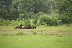 L'agricoltore che sveglia con i suoi bufali si avvicina alle risaie del gelsomino Fotografia Stock Libera da Diritti