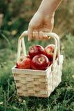 L'agricoltore che tiene il canestro di legno con le mele rosse fresche raccoglie il autum Fotografie Stock Libere da Diritti