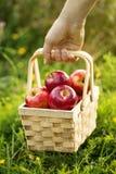 L'agricoltore che tiene il canestro di legno con le mele rosse fresche raccoglie il autum Fotografia Stock