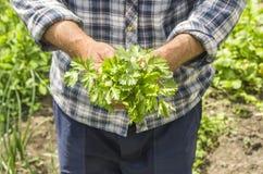 L'agricoltore che tiene il coriandolo Fresco e alimento biologico verdi Immagini Stock