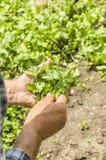 L'agricoltore che tiene il coriandolo Fresco e alimento biologico verdi Fotografia Stock Libera da Diritti