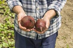 L'agricoltore che tiene la barbabietola Fresco e alimento biologico Giardino Hea Fotografia Stock