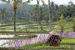L'agricoltore coltiva la sua risaia in Indonesia Fotografia Stock