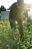 L'agricoltore con la forca sradica un chiarore della lente del porro Immagine Stock Libera da Diritti