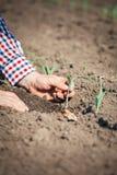 L'agricoltore controlla il cereale Immagini Stock