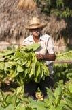 L'agricoltore cubano mostra il raccolto del campo di tabacco Immagini Stock