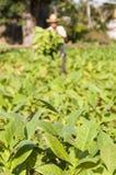 L'agricoltore cubano raccoglie il raccolto del campo di tabacco Immagini Stock Libere da Diritti