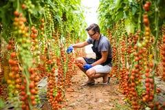 L'agricoltore del giovane raccoglie i pomodori ciliegia nel toma della serra Fotografie Stock Libere da Diritti