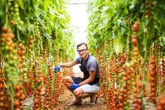 L'agricoltore del giovane si raccoglie con i pomodori ciliegia di forbici nei pomodori della serra nei precedenti della verdura d Fotografie Stock Libere da Diritti