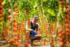 L'agricoltore del giovane si raccoglie con i pomodori ciliegia di forbici nei pomodori della serra nei precedenti della verdura d Fotografie Stock