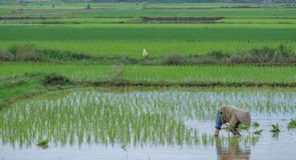 L'agricoltore del riso trapianta le piantine del riso Fotografie Stock Libere da Diritti