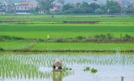 L'agricoltore del riso trapianta le piantine del riso Fotografie Stock