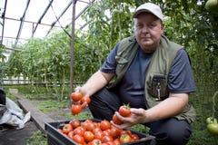 L'agricoltore dell'uomo coltiva i pomodori in una serra sulla sua azienda agricola Fotografie Stock Libere da Diritti