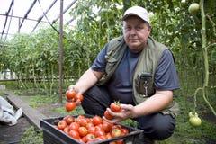 L'agricoltore dell'uomo coltiva i pomodori in una serra sulla sua azienda agricola Fotografia Stock Libera da Diritti