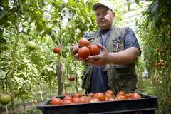 L'agricoltore dell'uomo coltiva i pomodori in una serra sulla sua azienda agricola Fotografie Stock