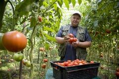 L'agricoltore dell'uomo coltiva i pomodori in una serra sulla sua azienda agricola Immagine Stock