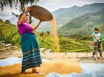 L'agricoltore delle donne sta separando il buon riso da quello cattivo nel Nepal Fotografia Stock