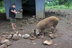L'agricoltore di Islander del cuoco alimenta un maiale domestico a Rarotonga, il cuoco Isl fotografia stock libera da diritti