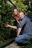 L'agricoltore e la sua moglie stanno controllando la crescita del pomodoro Fotografie Stock