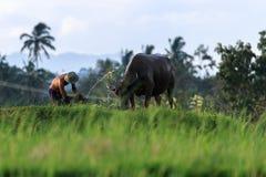 L'agricoltore e la sua mucca in Sumatra ad ovest Immagini Stock Libere da Diritti