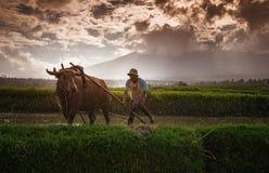 L'agricoltore e la sua mucca in Sumatra ad ovest Fotografie Stock