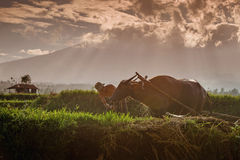 L'agricoltore e la sua mucca in Sumatra ad ovest Fotografia Stock Libera da Diritti