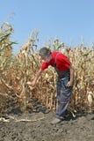 L'agricoltore esamina il campo di grano Immagine Stock