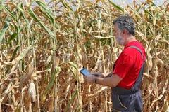 L'agricoltore esamina il campo di grano Immagini Stock