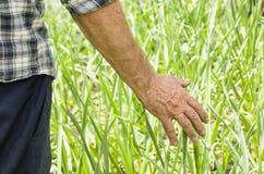 L'agricoltore esegue una mano attraverso le piante Fresco e alimento biologico f Fotografia Stock Libera da Diritti