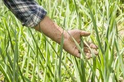 L'agricoltore esegue una mano attraverso le piante Fresco e alimento biologico f Fotografie Stock Libere da Diritti
