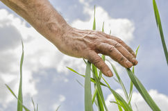 L'agricoltore esegue una mano attraverso le piante Fresco e alimento biologico f Immagini Stock