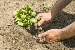 L'agricoltore fa la piantatura delle verdure Fresco e alimento biologico Fotografia Stock