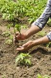 L'agricoltore fa la piantatura delle verdure Fresco e alimento biologico Fotografie Stock