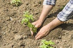 L'agricoltore fa la piantatura delle verdure Fresco e alimento biologico Immagini Stock